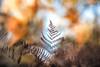 Fern with salmon skies (Tom Birtchnell) Tags: woods fern bracken nature outdoor red orange sunlight canon