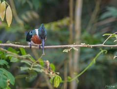 Costa Rica (Pacific) (VLADIMIR NAUMOFF) Tags: birds animals sony nikon vladimirnaumoff manuel antonio