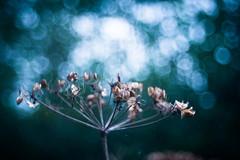 Hope (ursulamller900) Tags: trioplan2950 seeds bokeh blue