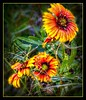 Coneflower Colors (Chris C. Crowley- Always behind but trying to catc) Tags: coneflowercolors flowers daisies floral botanical wildflowers