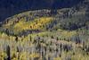 clones (Jeff Mitton) Tags: mountain clones aspen quakingaspen tremblingaspen fall autumn fallcolors autumncolors colorado sanjuanmountains cimarronvalley earthnaturelife wondersofnature