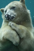Polar bear swimming (stephanieswayne1) Tags: one neeva zoo columbus animal wild posing polar bear underwater swimming baby young face head feet body bubbles water cute female astounding image explore page
