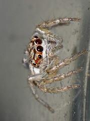 Jumper spider Cytaea sp Salticidae Airlie Beach P1080414 (Steve & Alison1) Tags: jumper spider cytaea sp salticidae airlie beach