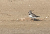 Common Ringed Plover (steve happ) Tags: charadriushiaticula commonringedplover dalmahisland delma uae unitedarabemirates