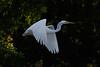119.jpg (Kico Lopez) Tags: miño lugo aves galicia birds garcetagrande ardeaalba spain rio