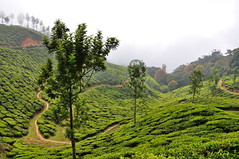 India - Kerala - Munnar - Tea Plantagen - 206 (asienman) Tags: india kerala munnar teaplantagen asienmanphotography