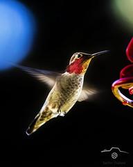 SP_5D-0432-2pw (T_Sachin) Tags: hummingbird birdphotography bird wildlife nature wings canon ngc