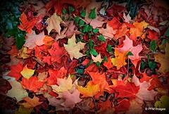 Oregon Autumn Colors (pandt) Tags: lithiapark ashland oregon colors leaves fall autumn oudoor nature canon eos 7d slr southernoregon maple
