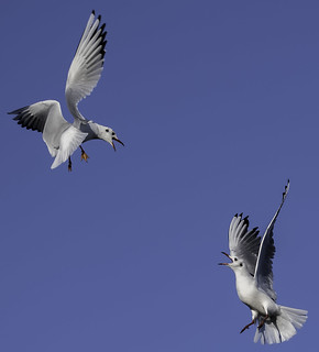 Black-headed Gulls.