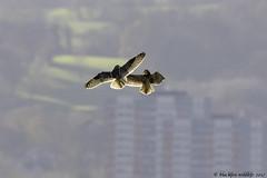 c'mon then (blackfox wildlife and nature imaging) Tags: canon 80d sigma150600mmossport shortearedowls bif raptors birdofprey birdsofpreyinflight deeestuary wirral