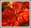 blazing... (Kens images) Tags: red fire november painted colours gardens seasons floral c 90mm canon lighting