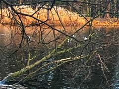 Łazienki Królewskie (basiamarcisz) Tags: warsaw warszawa łazienkikrólewskie autumn jesień park trees drzewa wather woda rzeka river