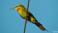 Eat Bees (Sam Petar) Tags: baghdad bird face eye eat bees green lightroom light sky summer iraq nikon animale natural