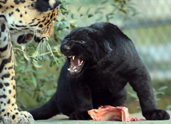 jaguarcub artis BB2A4382 (j.a.kok) Tags: jaguar jaguarcub jaguarwelp pantheraonca artis animal cat kat zuidamerika southamerica rica mammal zoogdier dier