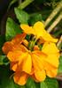 Firecracker flower (A. K. Hombre) Tags: firecrackerflower crossandrainfundibuliformis flora flores fleur blooms blossoms plant flowers macro kanakambara kanakambaram