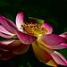 Lotus+flower+5