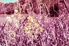 Summer Film Party! (.:Axle:.) Tags: kleinburg ontario canada trail humberriver summerfilmparty emulsive nikon nikonfa slr 35mm 135 aisnikkor50mm114 orange22 kodak kodakektachromeeir ektachrome eir highspeedinfrared colourinfrared infrared falsecolour slidefilm colourpositive e6 chrome thedarkroom thedarkroomcom expiredfilm epsonv700 adobephotoshopcc film filmphotography believeinfilmfilmisalive filmisnotdead