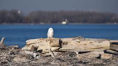 DSC_1997_edit (Hanzy2012) Tags: toronto ontario wildlife canada snowyowl buboscandiacus harfangdesneiges d750 80200mmf28dafs