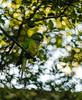 Perfecto Camuflaje (Felipe Bustillo) Tags: bird tree macro world mundo perico parrot green plants camuflage