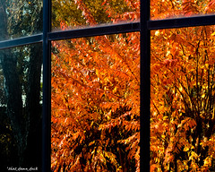 Autumn Reflection Curve (that_damn_duck) Tags: reflection tree leaves autumn fall autumncolors colorsoffall window windowreflection