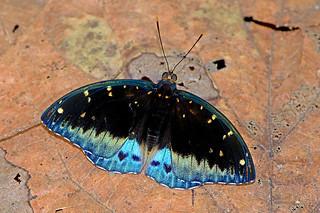 Lexias pardalis - the Common Archduke (male)