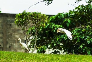 UN AIRONE IN VOLO E UNO A TERRA.   ----    A HERON IN FLIGHT AND ONE ON THE GROUND