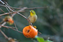 Japanese White-eye (myu-myu) Tags: nature bird wildbird zosteropsjaponicus japanesewhiteeye japanesepersimmon nikon d500 野鳥 メジロ 柿 japan