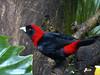 Crimson collared tanager