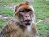 Prague Zoo 2017 Barbary macaque (Daves Portfolio) Tags: praguezoo zoopraha 2017 zoo prague monkey primate barbarymacaque macacasylvanus ape