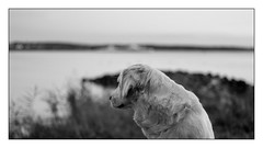 Nelly (Eline Lyng) Tags: pet animal portrait animalportrait golden retriever goldenretriever evening sunset eveningsunset seascape landscape nature coast coastline dof bokeh jeløy jeløya norway moss mediumformat monochrome monochrom bw blackandwhite leica leicas s 007 summarits70mm 70mm summarit leicalens littledoglaughedstories