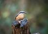 Nuthatch (mikedoylepics) Tags: nuthatch bi birds british bird britishwildlife animals arundelwildlifewetlandstrust arundel arundelwwt d750 nature nikon nikond750 wildlife wild westsussex wwtarundel wwt