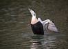 Look at me I'm gorgeous (mikedoylepics) Tags: eiderduck duck bi birds british bird britishwildlife animals arundelwildlifewetlandstrust arundel arundelwwt d750 nature nikon nikond750 wildlife wild westsussex wwtarundel wwt