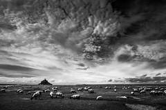 Les prés salés (tof-lo62) Tags: noir et blanc black white mont saint michel bretagne brittany france moutons ciel sky landscape reflet reflection