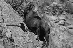 Ovis canadensis in Black and White (GalaxyFan (Bighorn Photography)) Tags: oviscanadensis oviscanadensiscolorado bighornsheep bighornsheeprut bighorn bighornram ram colorado coloradowildlife coloradophotography coloradowildlifephotography littleton littletoncolorado watertoncanyon watertoncanyontrail watertoncanyonwildlife canon7d canon100400mmf4556isl canoncamera canonlenses canonusa canongallery canonextreme awesomeshot anawesomeshot wildanimal blackandwhite blackandwhitephotography canonwildlifephotography canonwildlife