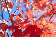 Maple Leaves Macro. (dccradio) Tags: lumberton nc northcarolina robesoncounty outdoors outside morning goodmorning fall autumn harvest nikon d40 dslr sky bluesky nature natural tree trees foliage autumnfoliage fallfoliage maple mapletree youngmaple redleaves redleaf redmapleleaf