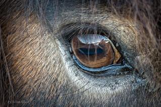 Einem Exmoor-Pony tief in die Augen geschaut