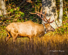 Elk 11 (augphoto) Tags: augphotoimagery cervuselaphus elk animal mammal nature outdoors wildlife waynesville northcarolina unitedstates