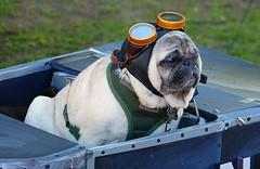 Dog Named Donut (swong95765) Tags: dog donut cute animal canine costume aviator