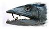 Predator (andycurrey2) Tags: gamefish ocean sea game animal fauna fish macro taxidermy teeth eye head nature natural closeup