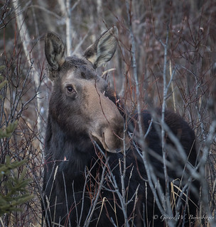 North American Moose - Cow