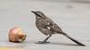 250.3 Langstaartspotlijster-20171017-J1710-59960 (dirkvanmourik) Tags: aves birdsofperu langstaartspotlijster lima longtailedmockingbird mimuslongicaudatus peru2017 sinsontecolilargo vogel