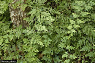 40837 The fern-like clubmoss Selaginella willdenowii in coastal lowland rainforest, Vale Eco Centre, Teluk Batik, Lumut, Perak, Malaysia.