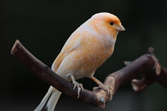 Canary (annapolis_rose) Tags: bird canary bloedelconservatory queenelizabethpark vancouver
