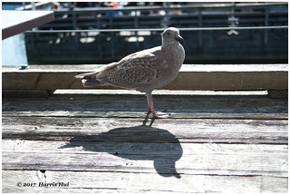 Seagull And Its Shadow - Steveston XP7314e