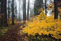 Retrospect (John Westrock) Tags: nature forest trees autumn fall autumncolors fallcolors fog foggy easton washingtonstate pacificnorthwest canoneos5dmarkiii canonef1635mmf4lis