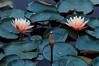 Water Lillies - D2X-6-25-13DSC_7560_8570 (Cap001 - Dan) Tags: red waterlillies
