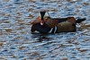 IMG_4215 (LezFoto) Tags: mandarinduck mandarin duck colourful aixgalericulata swansgeeseandducks scotland unitedkingdom uk canoneos700d sigma 700d canon 120400mmf4556dgapooshsm
