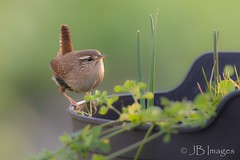 Wren visiting the garden. (J.B.Images) Tags: amazingnature amazing beautiful birds canon clear closeup canoneos6d countryside canonef70200mmf28isiilens canonef600mmf4isl detail detailed explore eos explored england eyes ef focus gardens garden gardenbirds interesting image is jbimages lumix lovely lovelylight nikon nature natural nice pretty picturesque royalwoottonbassett rspb rural swindon usm fuji wiltshire woodlands xl young zoomed zoom