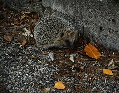 4 - Hérisson mignon (melina1965) Tags: 2017 décembre december bourgogne burgondy nikon coolpix s3700 saintvallier hedgehog hedgehogs hérisson hérissons