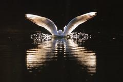 Splash (Susanne Leyh) Tags: gull bird water reflection backlit light animal fauna wildlife britishwildlife möwe vogel wasser spiegelung reflexion nature natur